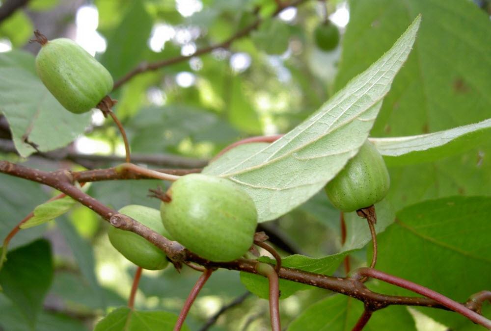 Actinidiaceae kolomikta - härdig kiwi-planta