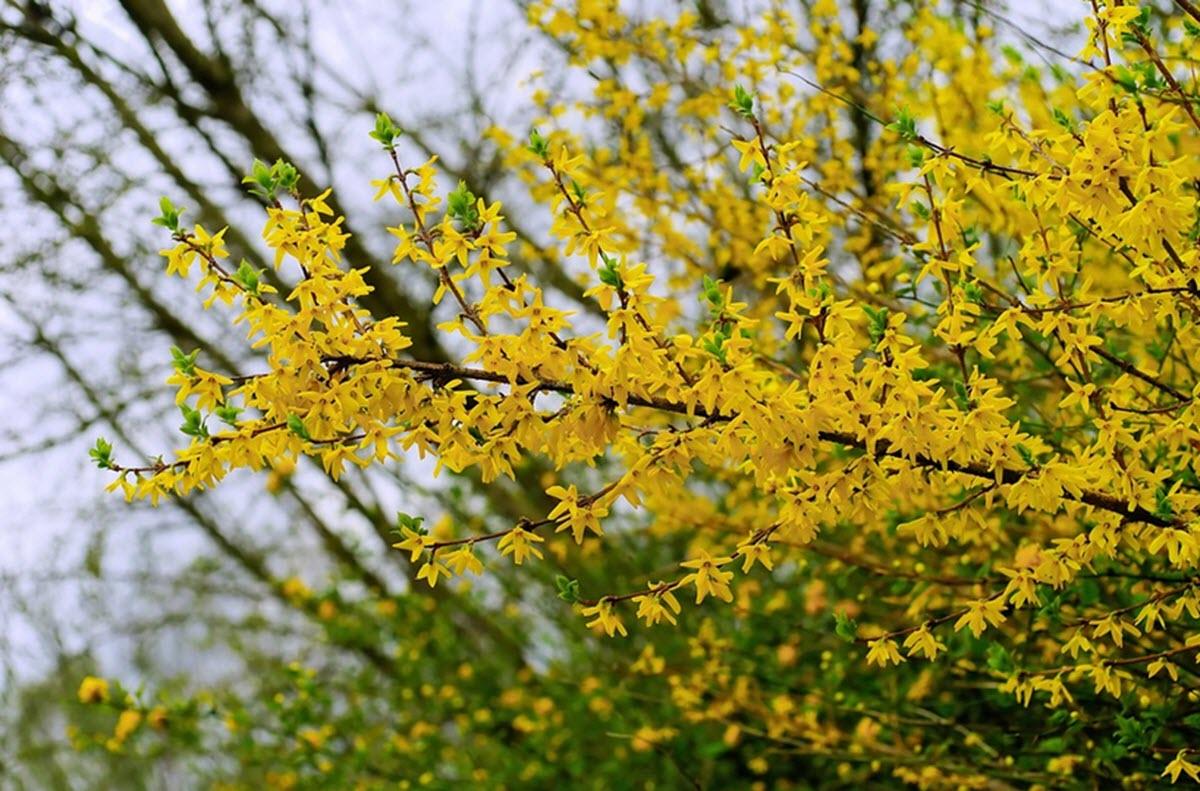 Forsythia på våren