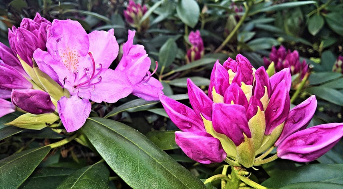Rhododendron blommor