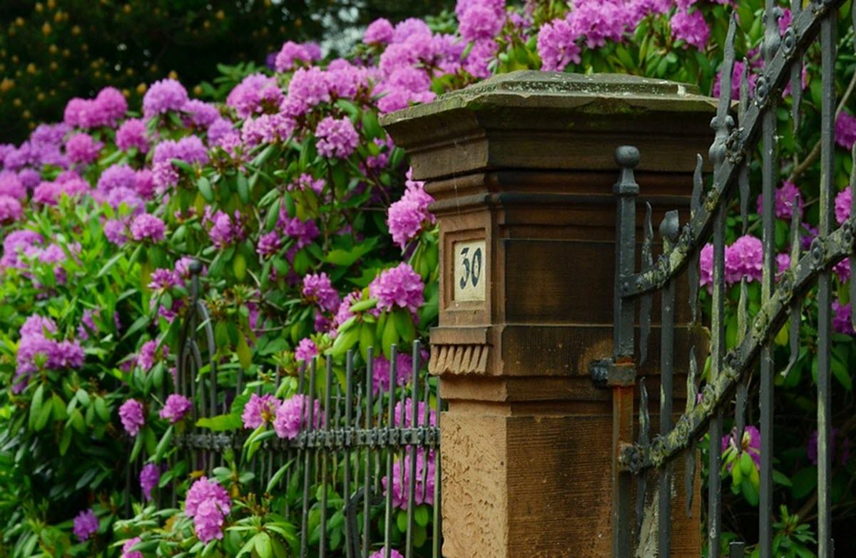 Rhododendron häck
