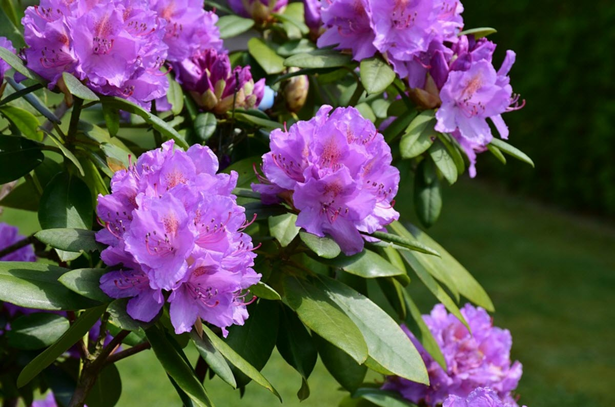 Rhododendron som blommar