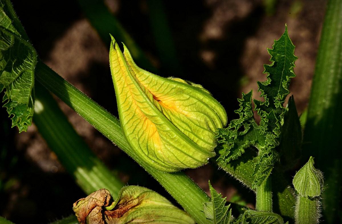 Zucchini blomma