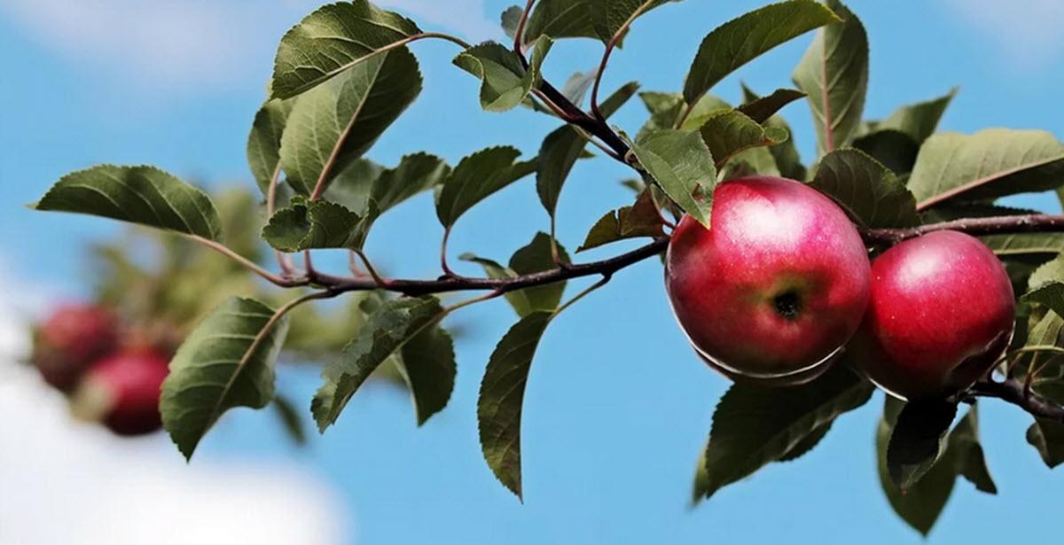 äppelträd med frukt