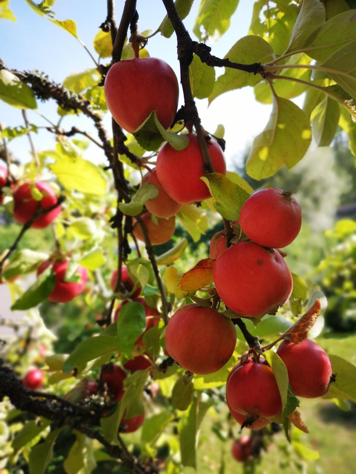 äpplen på äppelträd