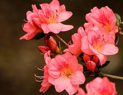 rosa azalea