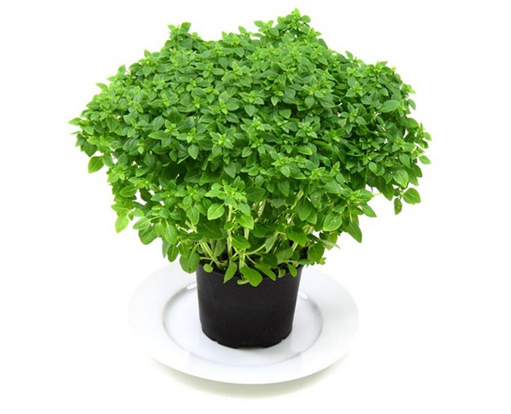 basilika planta