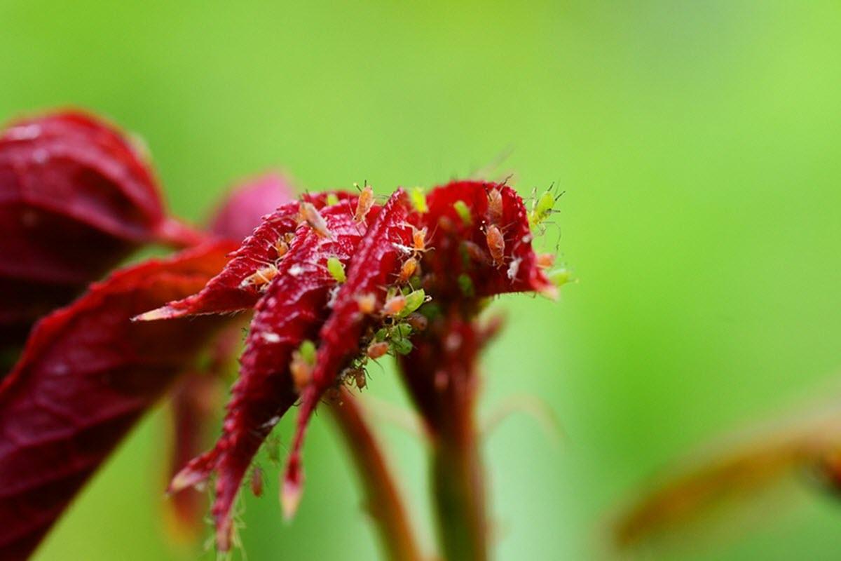 bladlus på ros