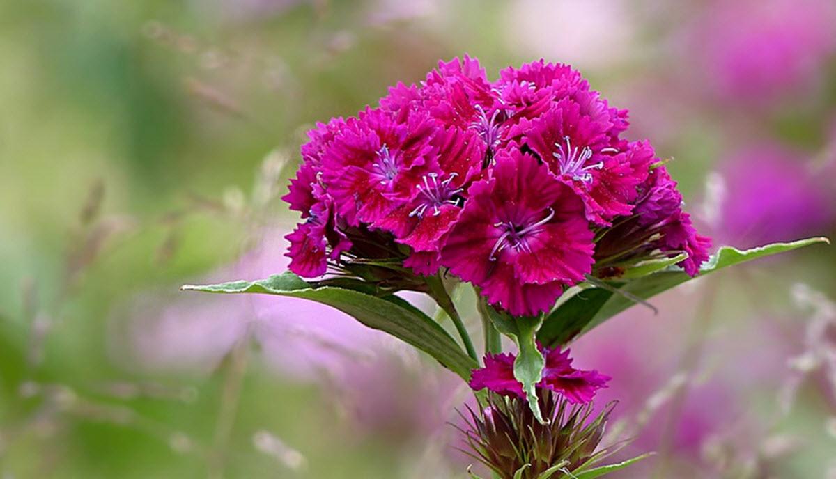 rosa borstnejlika