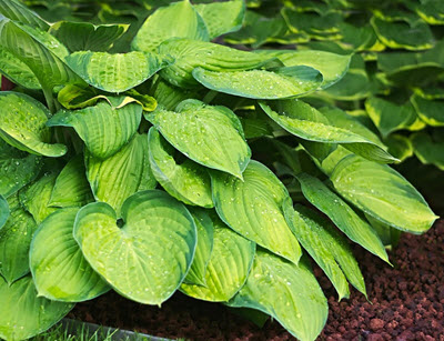 funkia - perenn trädgårdsväxt