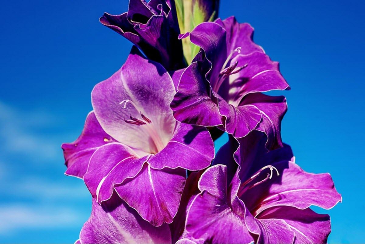 gladiolusblomma