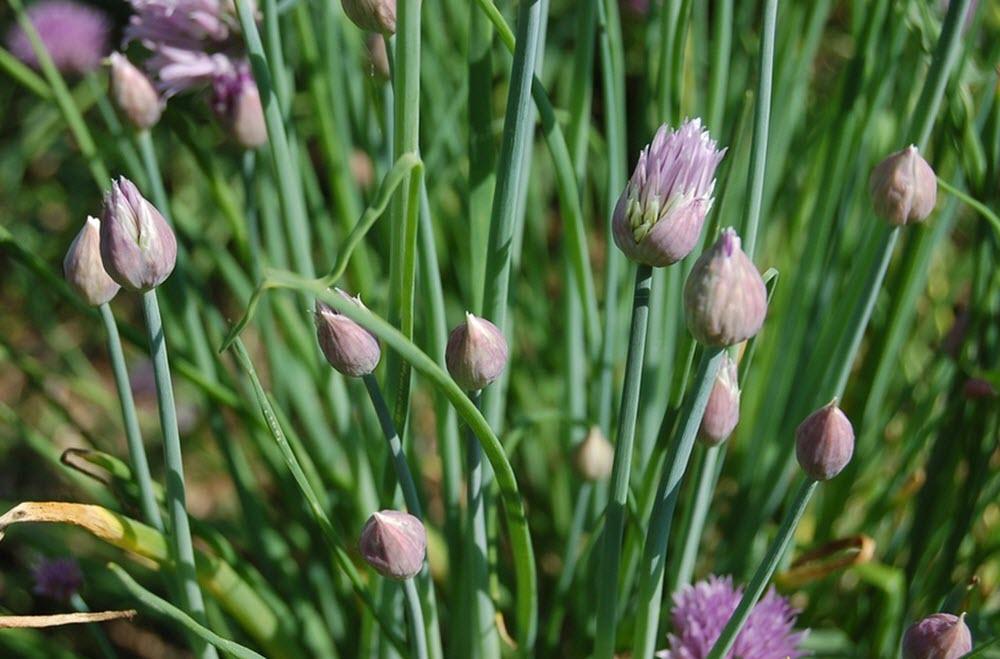 gräslök Allium schoenoprasum