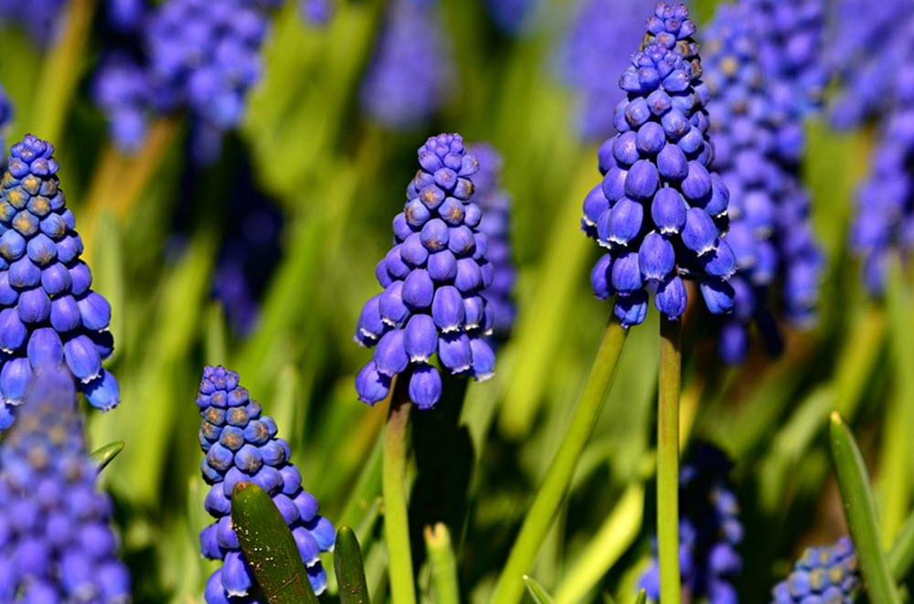 hyacinth knopp