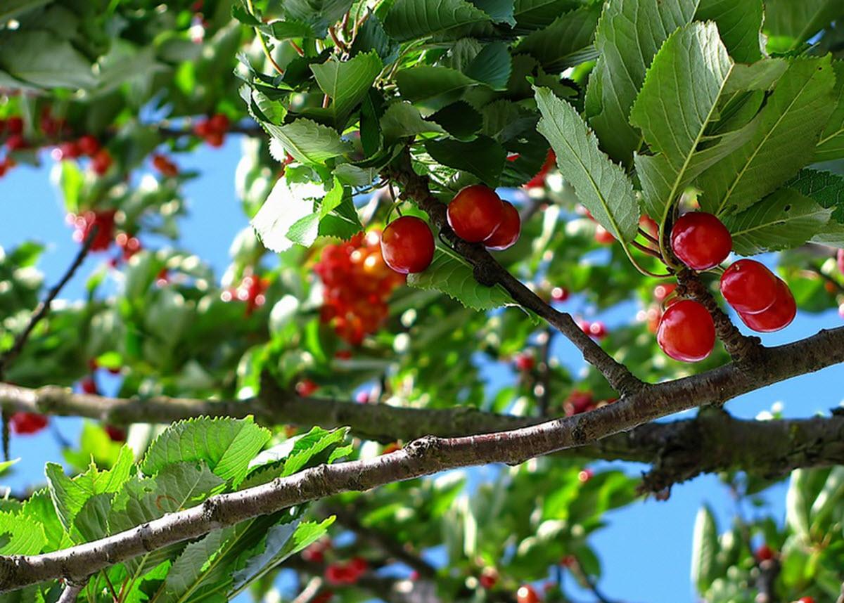 körsbär på körsbärsträd