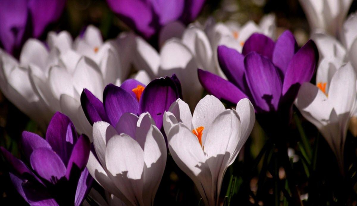 krokus blommor