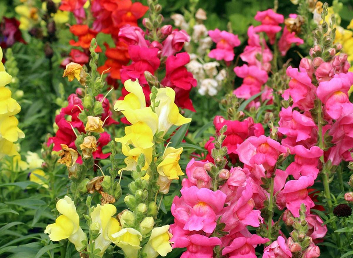 lejongap blommor