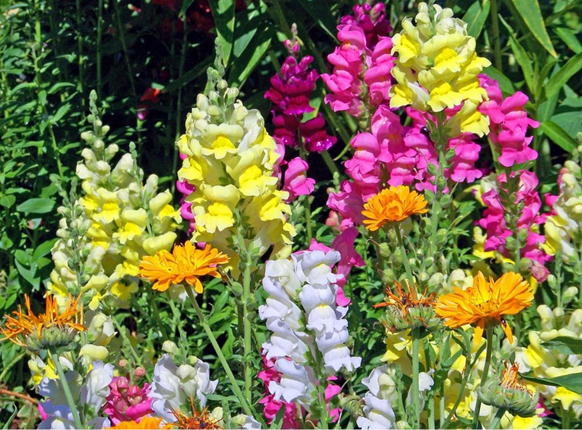 lejongap bland andra blommor
