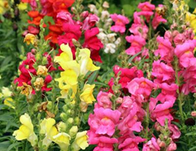 lejongap annuell trädgårdsväxter