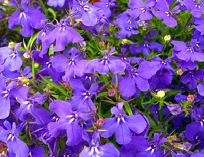 lobelia annuell trädgårdsväxter