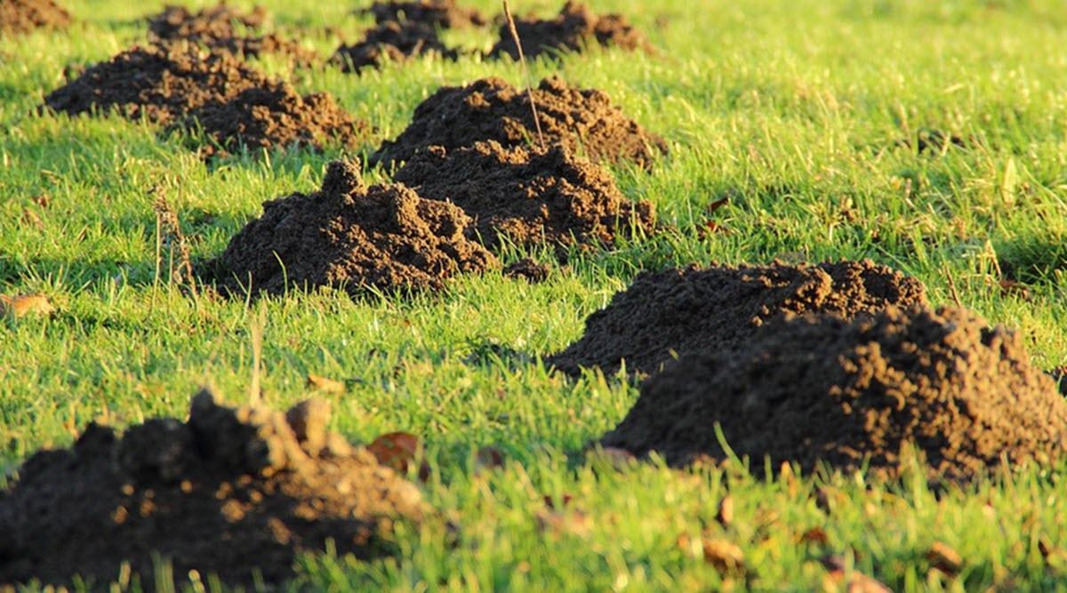 Hål i gräsmatta skapada av mullvad