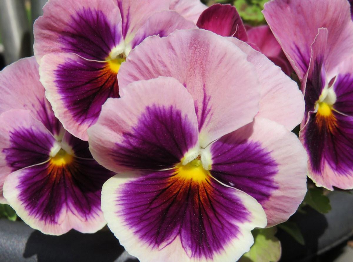 pense blommor