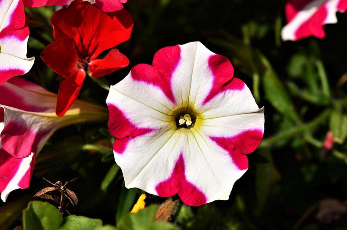 röd och vit petunia blomma