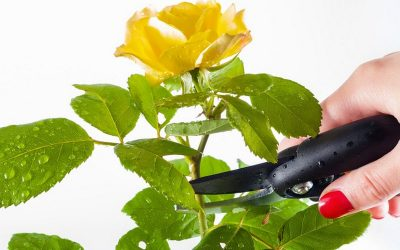 ros med sekatör
