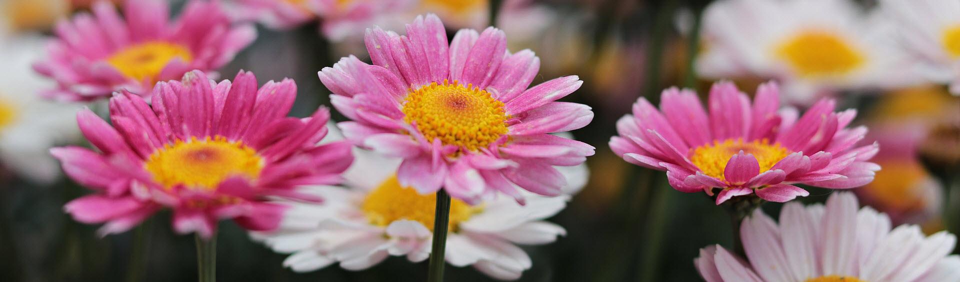 sommarblommor (ettåriga trädgårdsväxter)