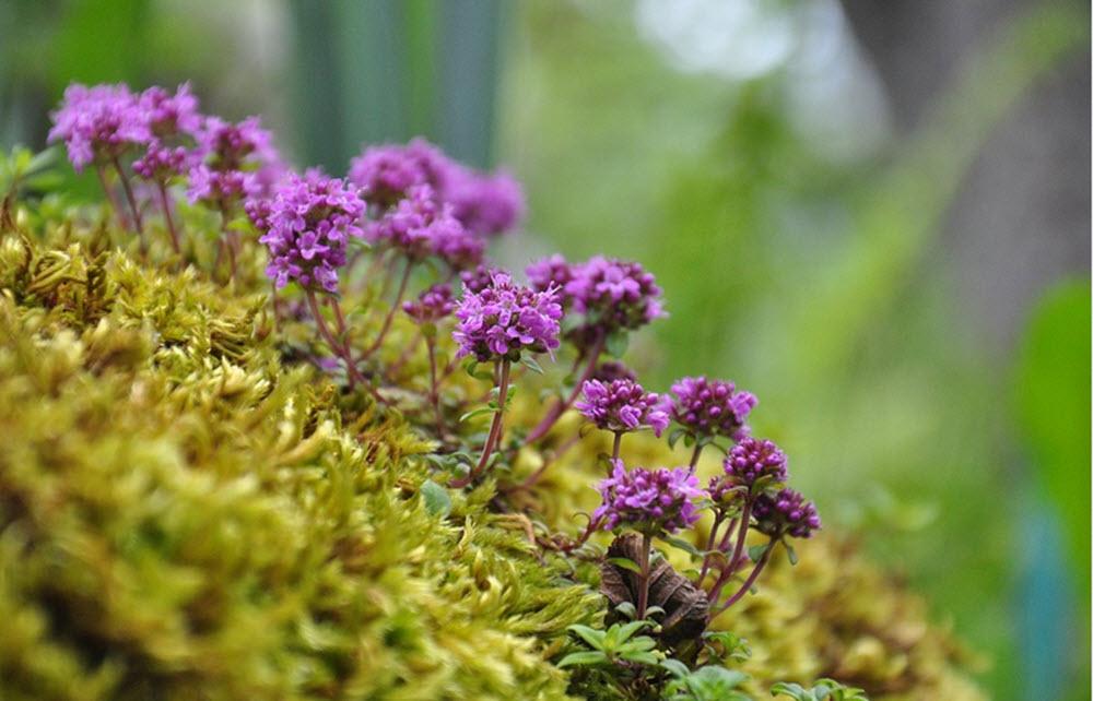 timjan blommor