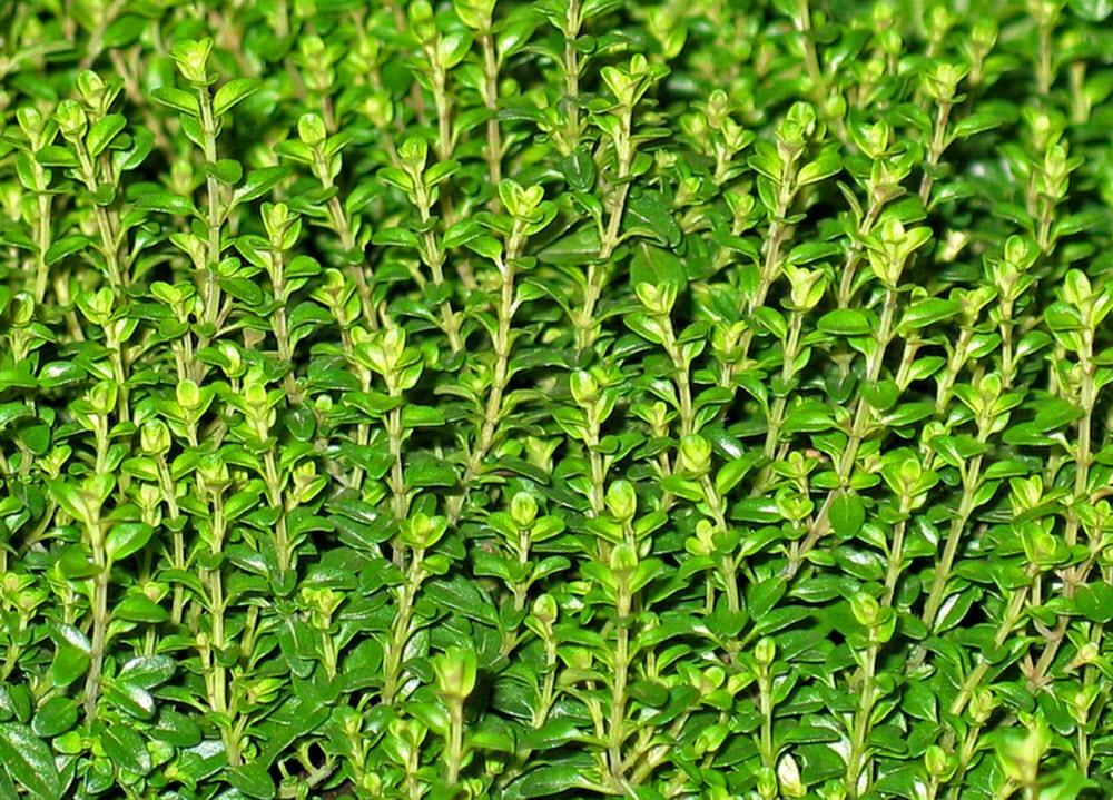 timjan planta