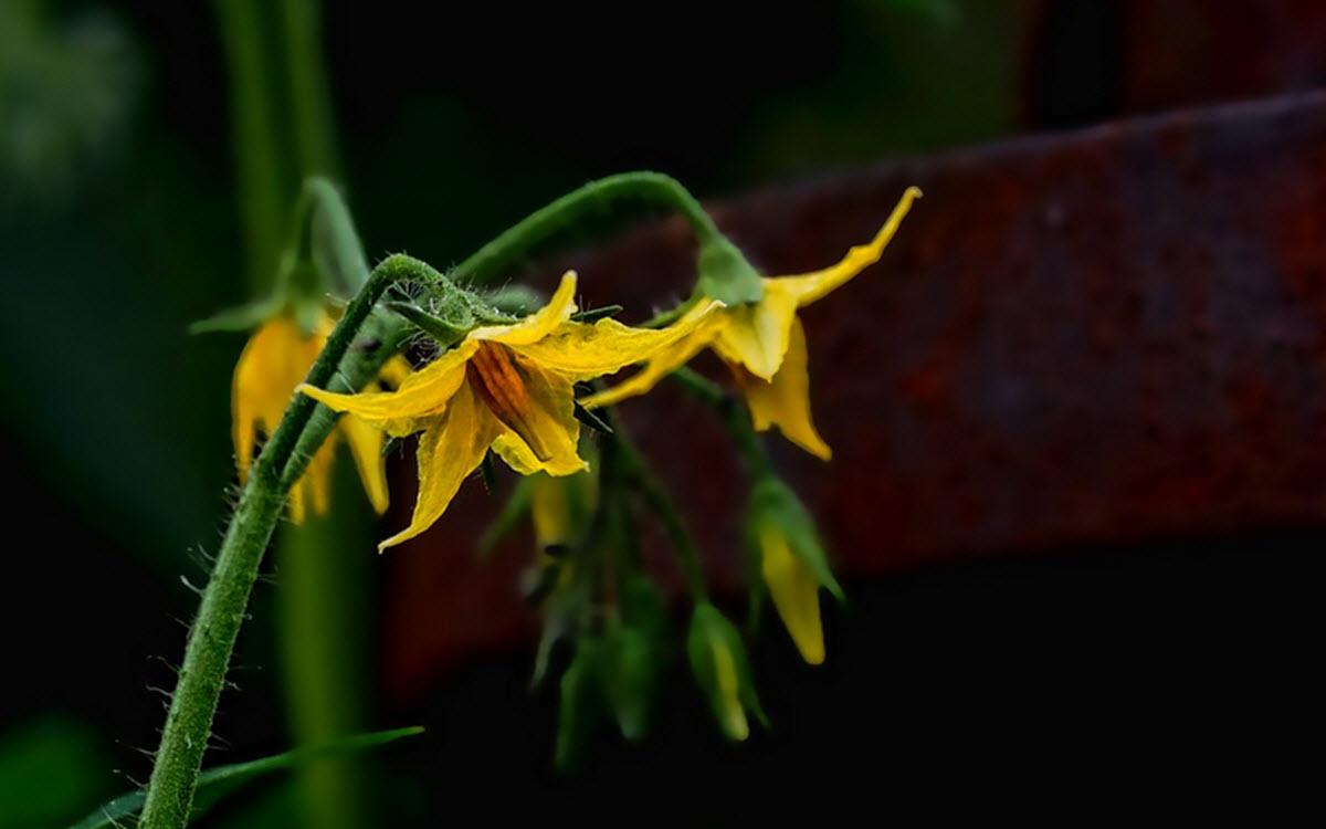 tomat blommor