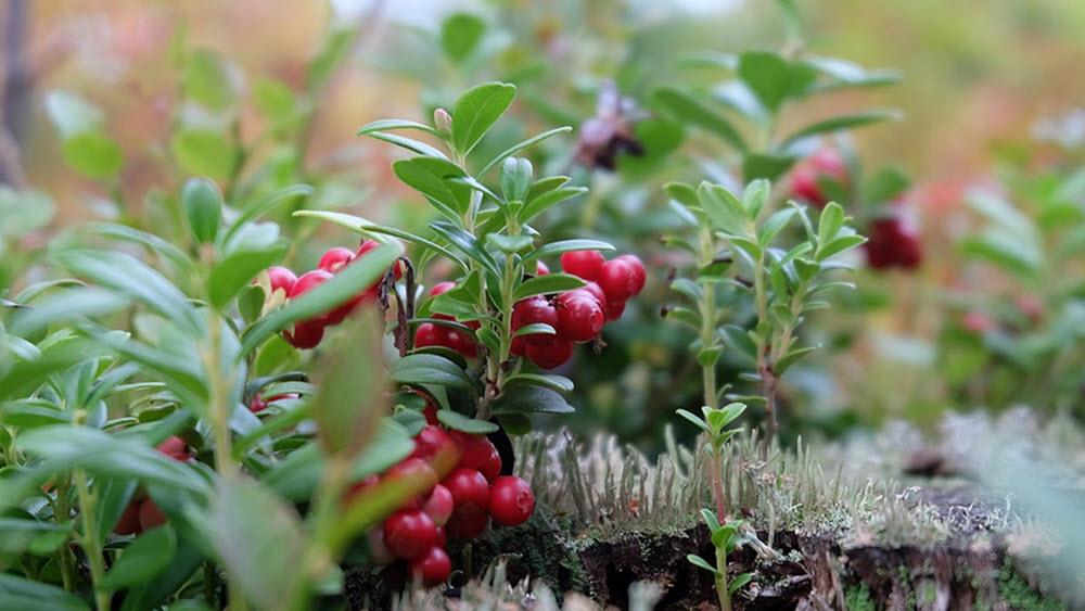 tranbär buskar